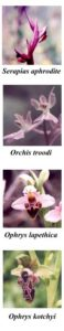 Orchids Cyprus